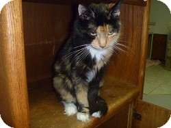 Domestic Mediumhair Cat for adoption in Hamburg, New York - Reggie
