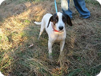 Beagle/Jack Russell Terrier Mix Dog for adoption in Dundas, Virginia - Star
