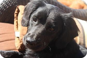 Cocker Spaniel Mix Dog for adoption in San Diego, California - Angelita