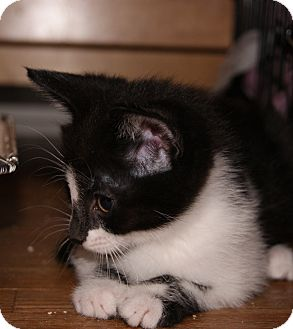 Domestic Shorthair Kitten for adoption in Chicago, Illinois - HUCK