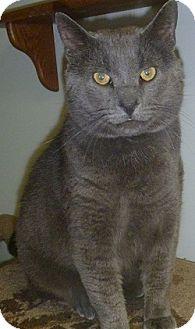 Domestic Shorthair Cat for adoption in Hamburg, New York - Barron