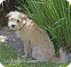 Wheaten Terrier Mix Dog for adoption in Tustin, California - Oliver
