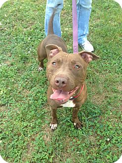 Labrador Retriever/Pit Bull Terrier Mix Dog for adoption in New Haven, Connecticut - *URGENT* HERSHEY