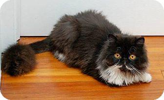 Persian Cat for adoption in Elmwood Park, New Jersey - Choobi & Noodles