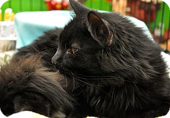 Domestic Longhair Cat for adoption in Great Falls, Montana - Johnny Cash