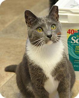 Domestic Shorthair Cat for adoption in Winston-Salem, North Carolina - Milo