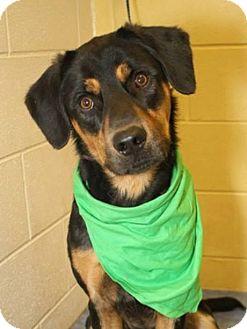Shepherd (Unknown Type) Mix Dog for adoption in Clarksville, Tennessee - Denver