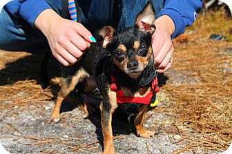 Chihuahua Mix Dog for adoption in Manahawkin, New Jersey - Darla