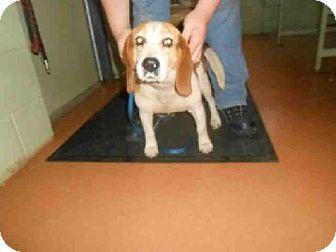 Beagle Dog for adoption in Indianapolis, Indiana - SODA