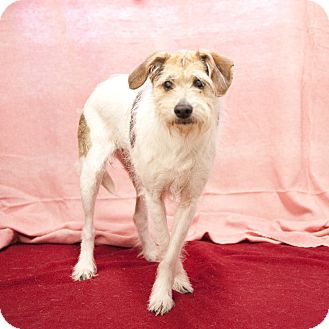 Terrier (Unknown Type, Small) Mix Dog for adoption in South Haven, Michigan - Lady