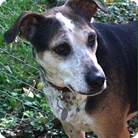 Beagle/Cattle Dog Mix Dog for adoption in Boiling Springs, Pennsylvania - Gracie