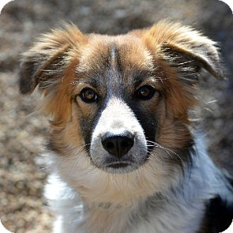 Border Collie Mix Dog for adoption in Garland, Texas - Brazos
