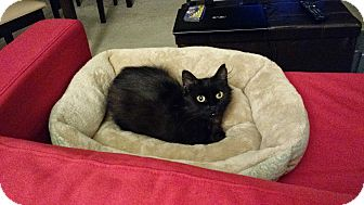 Domestic Longhair Cat for adoption in Chicago, Illinois - Flamenco