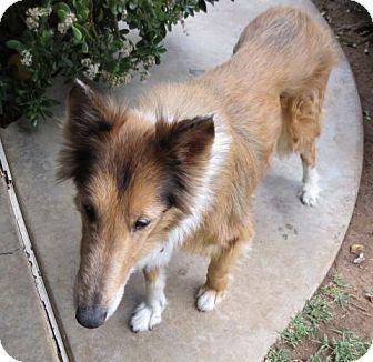 Collie Dog for adoption in Riverside, California - Vanilla