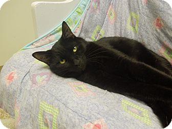 Domestic Shorthair Cat for adoption in Medina, Ohio - Sonic