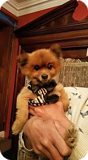 Pomeranian Dog for adoption in Westwood, New Jersey - Allie