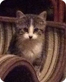 Domestic Shorthair Kitten for adoption in Rochester, New York - Smootch