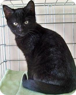 American Shorthair Kitten for adoption in Rochester, New York - Nala