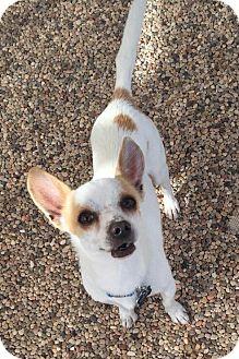 Chihuahua Dog for adoption in Goodyear, Arizona - Niko