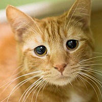 Domestic Shorthair Cat for adoption in Auburn, California - Otto