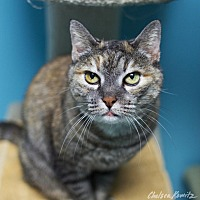 Domestic Shorthair Cat for adoption in Los Angeles, California - Moza