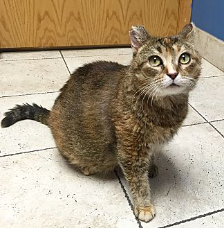 American Shorthair Cat for adoption in Bloomington, Minnesota - Kentucky