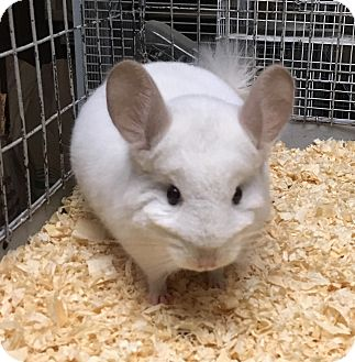 Chinchilla for adoption in Hammond, Indiana - 4 mo pink white chinchilla