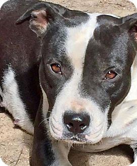 Boston Terrier/American Staffordshire Terrier Mix Dog for adoption in Memphis, Tennessee - Opal~UPDATE!