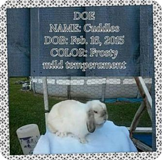 Lop, Holland for adoption in Paradis, Louisiana - Cuddles