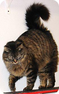 Domestic Longhair Cat for adoption in Kalamazoo, Michigan - Hendrix