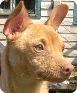 Xoloitzcuintle/Mexican Hairless Mix Dog for adoption in Tacoma, Washington - Melvin