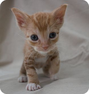 Domestic Shorthair Kitten for adoption in Canyon Country, California - Jellybean
