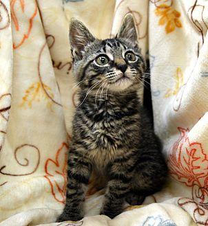 Domestic Shorthair Kitten for adoption in Richmond, Virginia - Nico