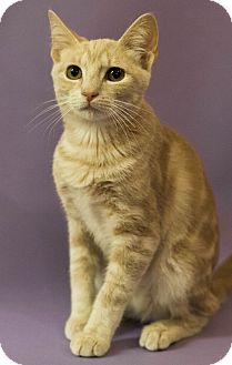 Domestic Shorthair Cat for adoption in Plano, Texas - TRUMAN-DUMPED AT SELF STORAGE