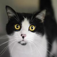 Adopt A Pet :: Gibson - Annapolis, MD