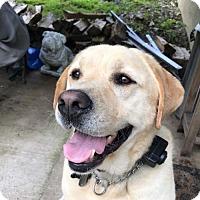 Adopt A Pet :: Beautiful Lab Boy Needs Rehoming - Millbrook, NY