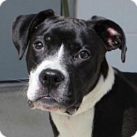 Adopt A Pet :: Steele - Washington, DC