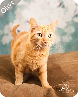 Domestic Shorthair Cat for adoption in Ottawa, Kansas - Olive *No Fee 8/2 - 8/31*