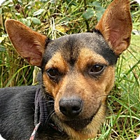 Chihuahua Mix Dog for adoption in Petersburg, Virginia - Mikey