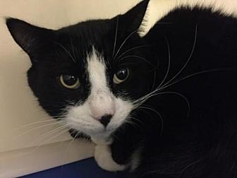 Domestic Shorthair Cat for adoption in Millersville, Maryland - Bubbles 1
