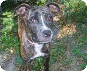 American Pit Bull Terrier Mix Puppy for adoption in Minneapolis, Minnesota - Midge
