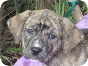 Boxer Mix Puppy for adoption in Mobile, Alabama - WISHFUL