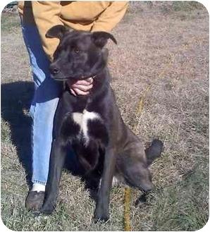 Great Dane/Husky Mix Dog for adoption in Wilmington, Delaware - Raider