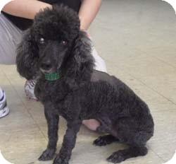 Miniature Poodle Dog for adoption in Melbourne, Florida - JUSTIN