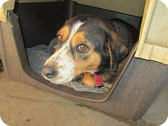 Terrier (Unknown Type, Medium)/Shepherd (Unknown Type) Mix Dog for adoption in Henderson, North Carolina - Mom To Be