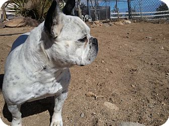 French Bulldog Dog for adoption in Lucerne Valley, California - Birdie