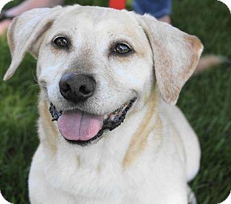 Basset Hound/Labrador Retriever Mix Dog for adoption in Palatine, Illinois - George