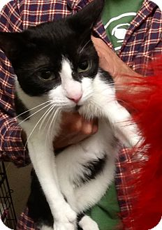 Domestic Shorthair Cat for adoption in Webster, Massachusetts - Moo Moo