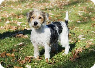 Schnauzer (Standard)/Shih Tzu Mix Dog for adoption in Brooklyn, New York - Darling Don