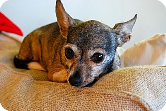 Chihuahua Dog for adoption in Acton, California - Mimi